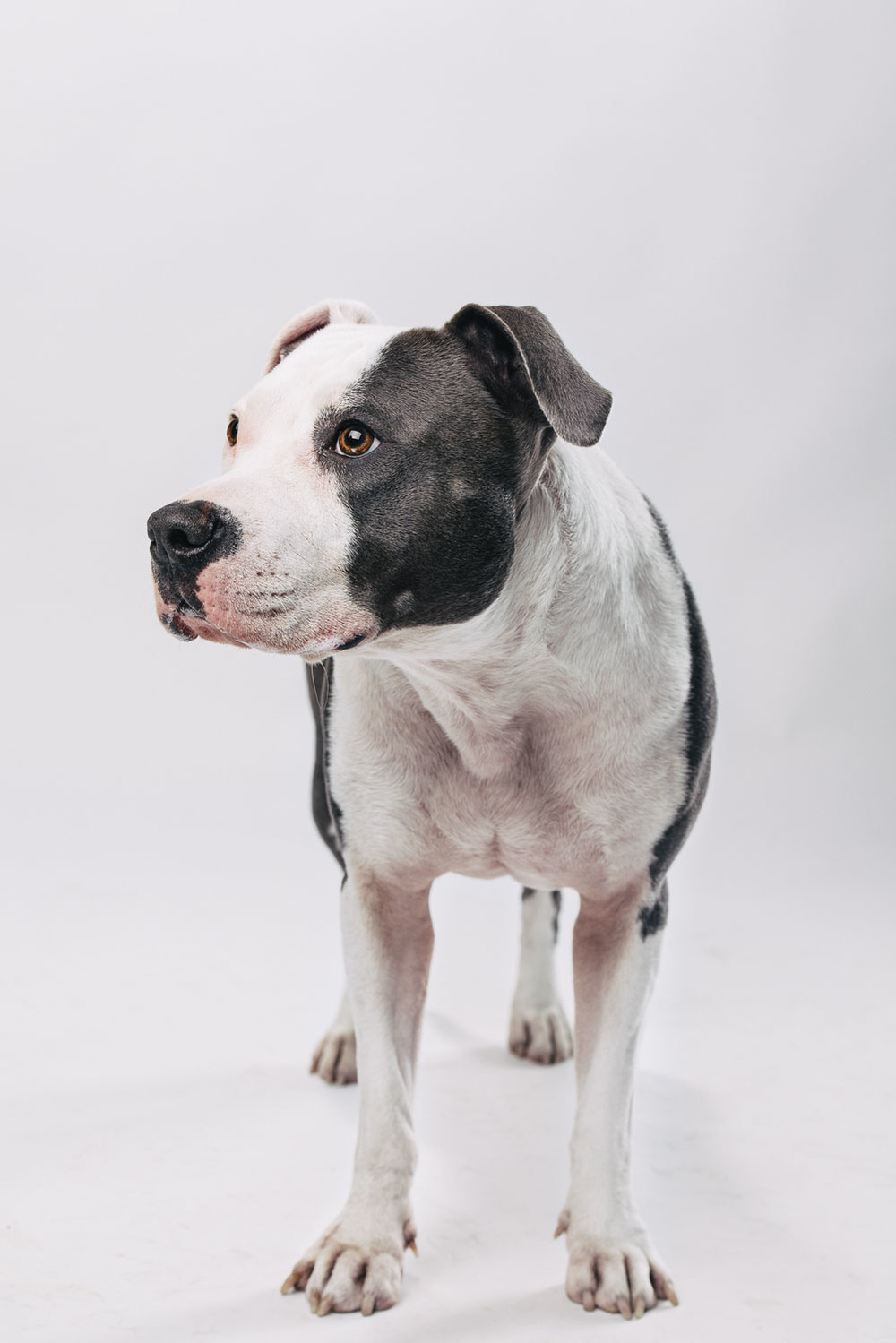 Pfotentick Fotoshooting American Staffordshire Terrier Cleo