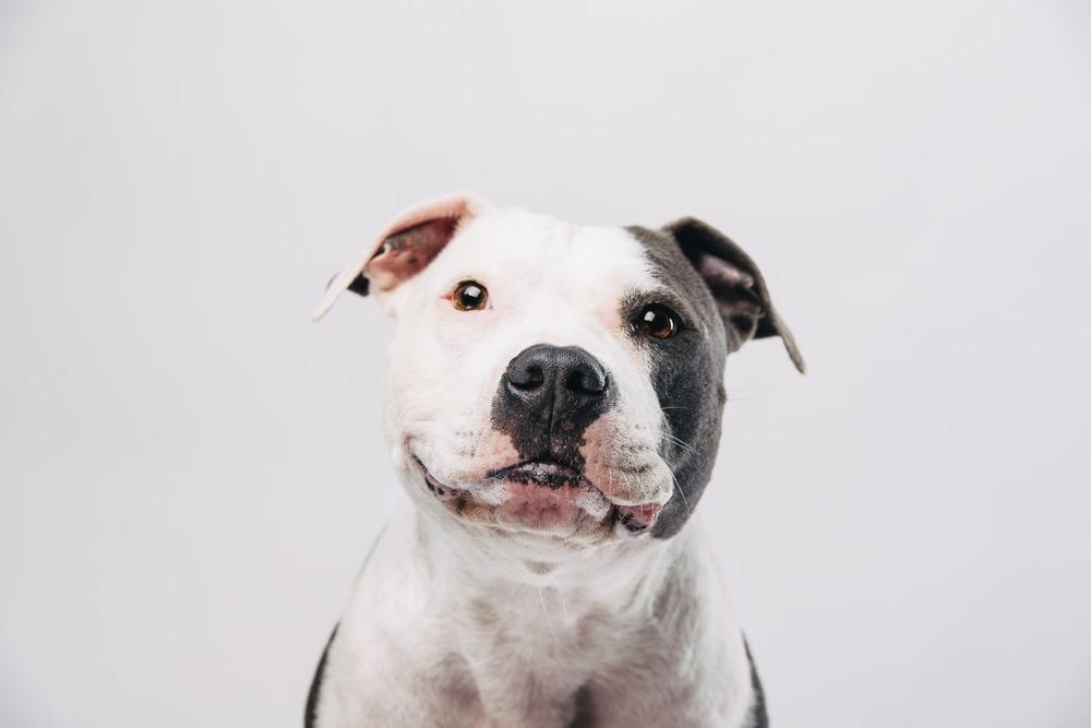 Grinsebacke American Staffordshire Terrier Cleo