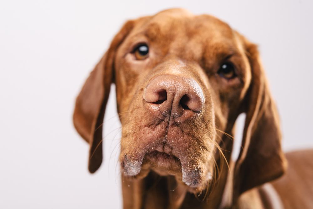 Vizsla Pan Pfotentick Fotoshooting Hundefotografie