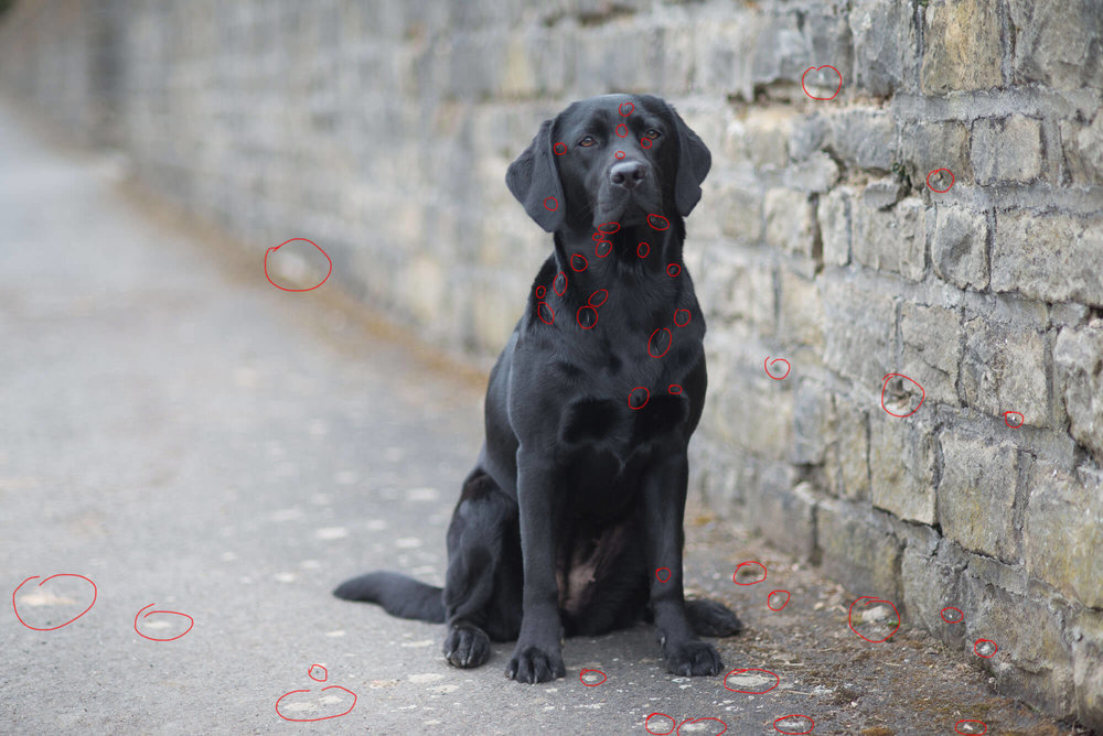 schwarzer-labrador-vor-einer-grauen-mauer-markiert.jpg