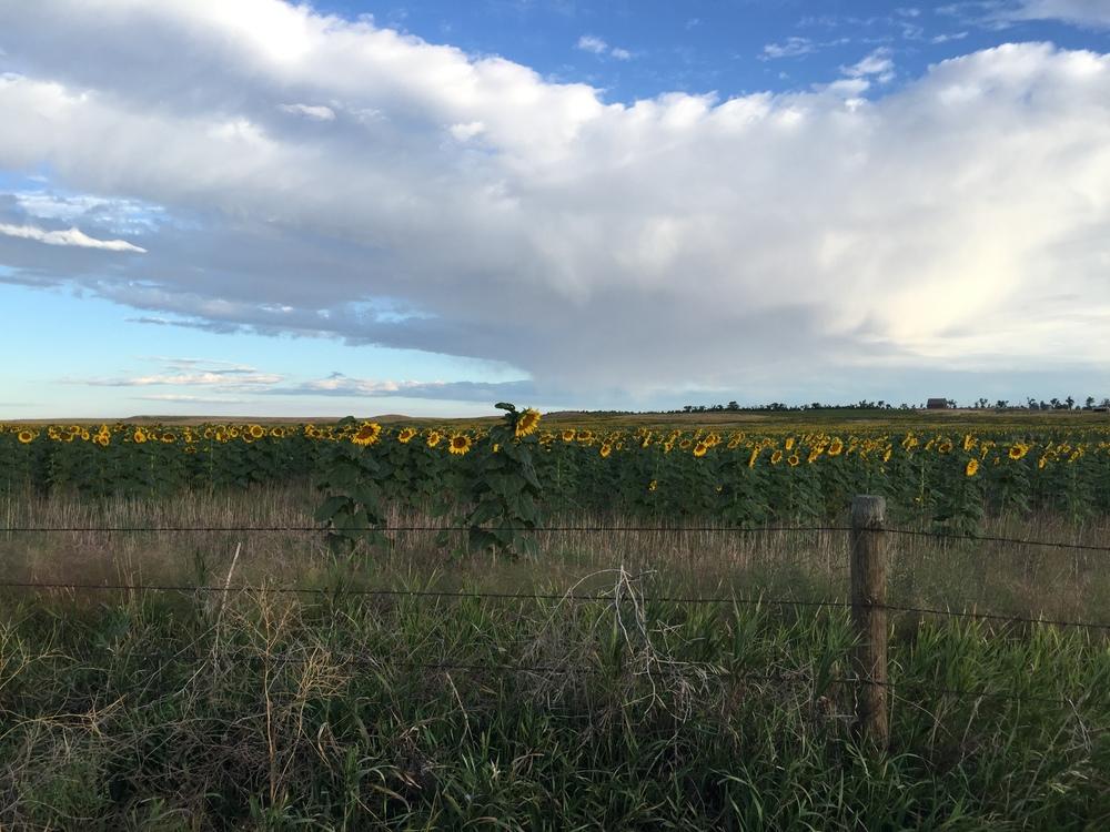 Sunflowers on the way to Cheyene