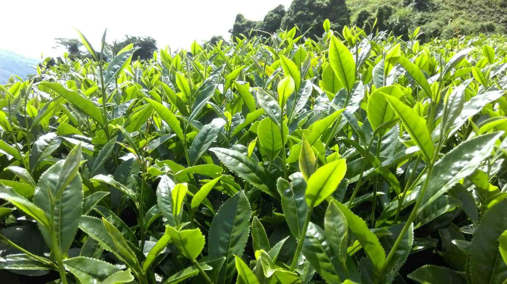 A close up look Taiwanese oolong tea bushes, from the plantation we source our High Mountain Oolong Tea.