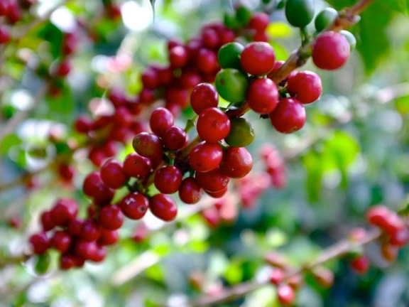 Coffee cherries in Colombia. The red ones are ripe and ready to be picked. The green ones need a little longer.