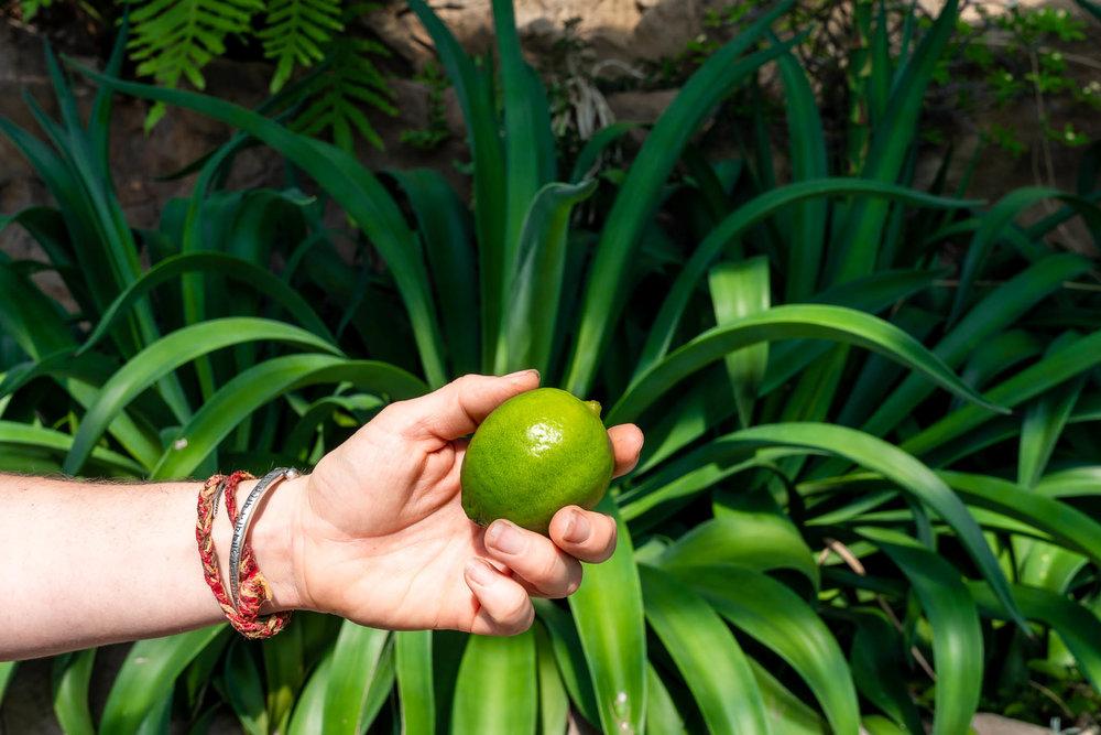Agave Lime Myriad Gardens.jpg