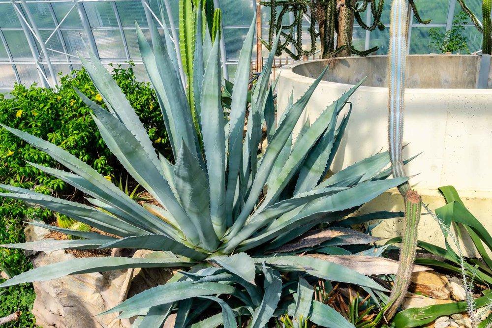 Agave Plant Myriad Gardens.jpg