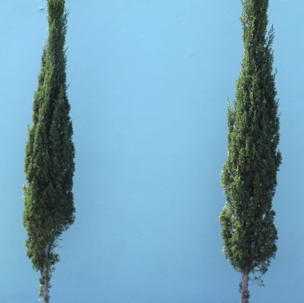 Manuel's Cedars
