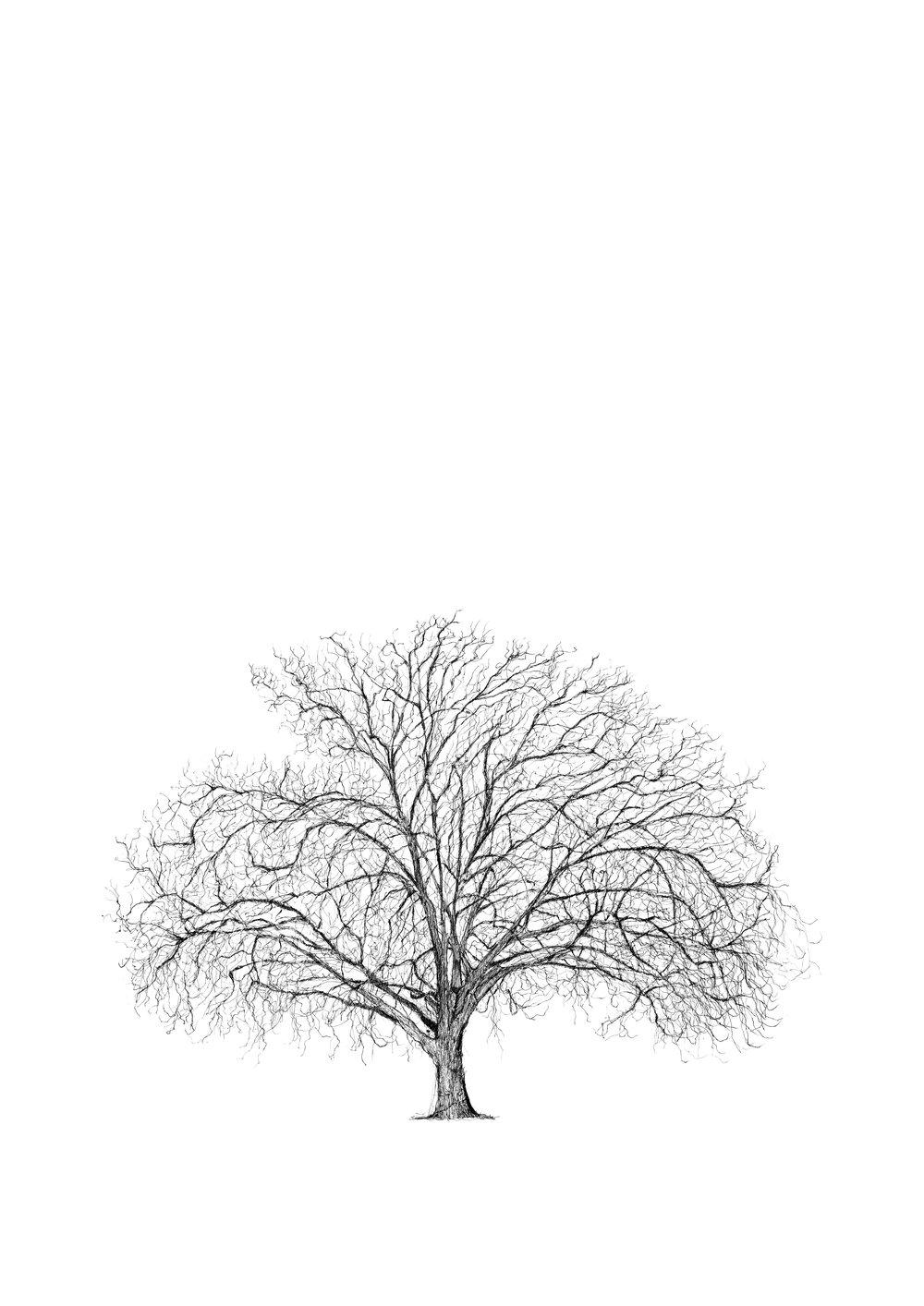 Brixton Plane Tree