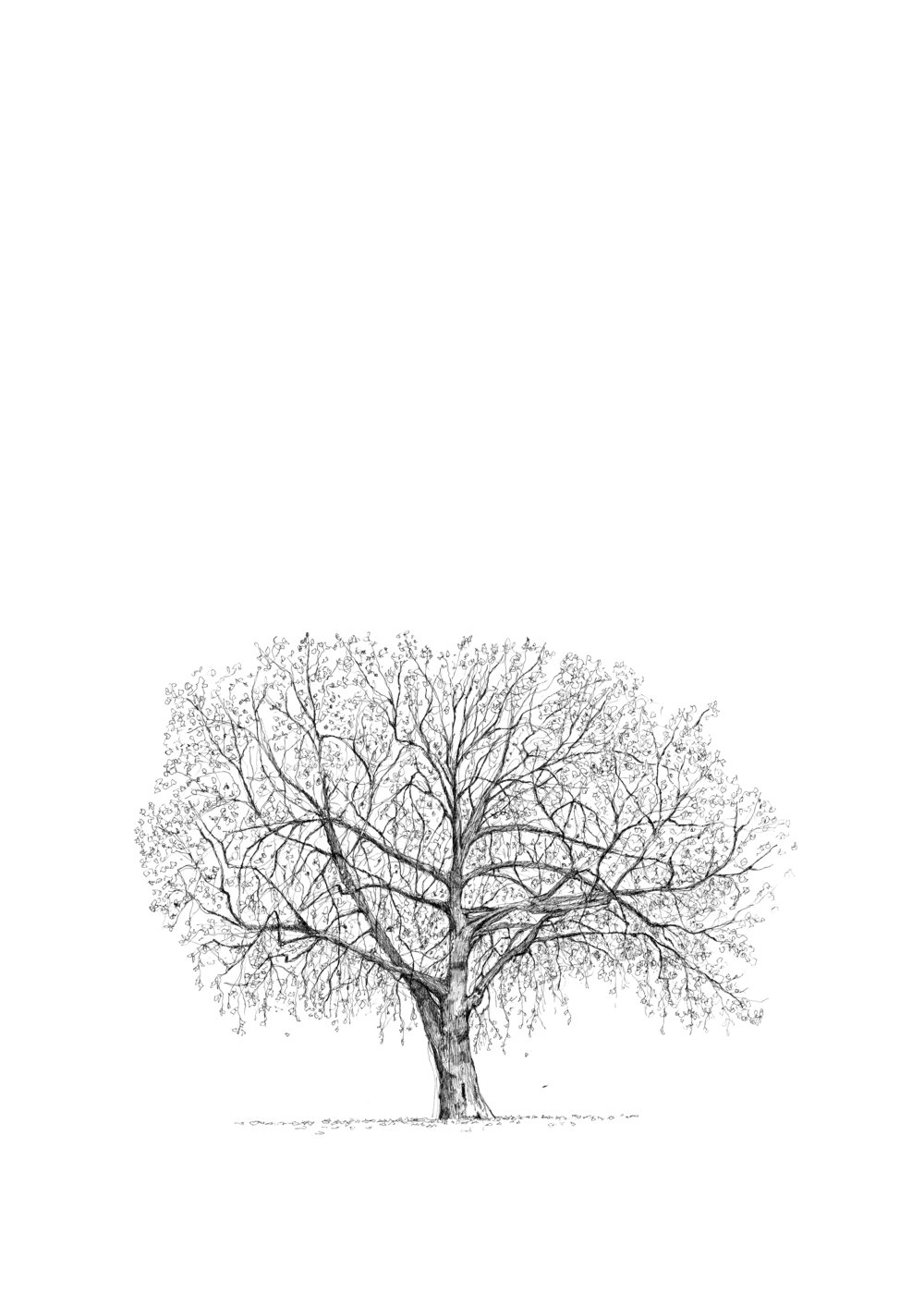 Deans Yard Plane tree