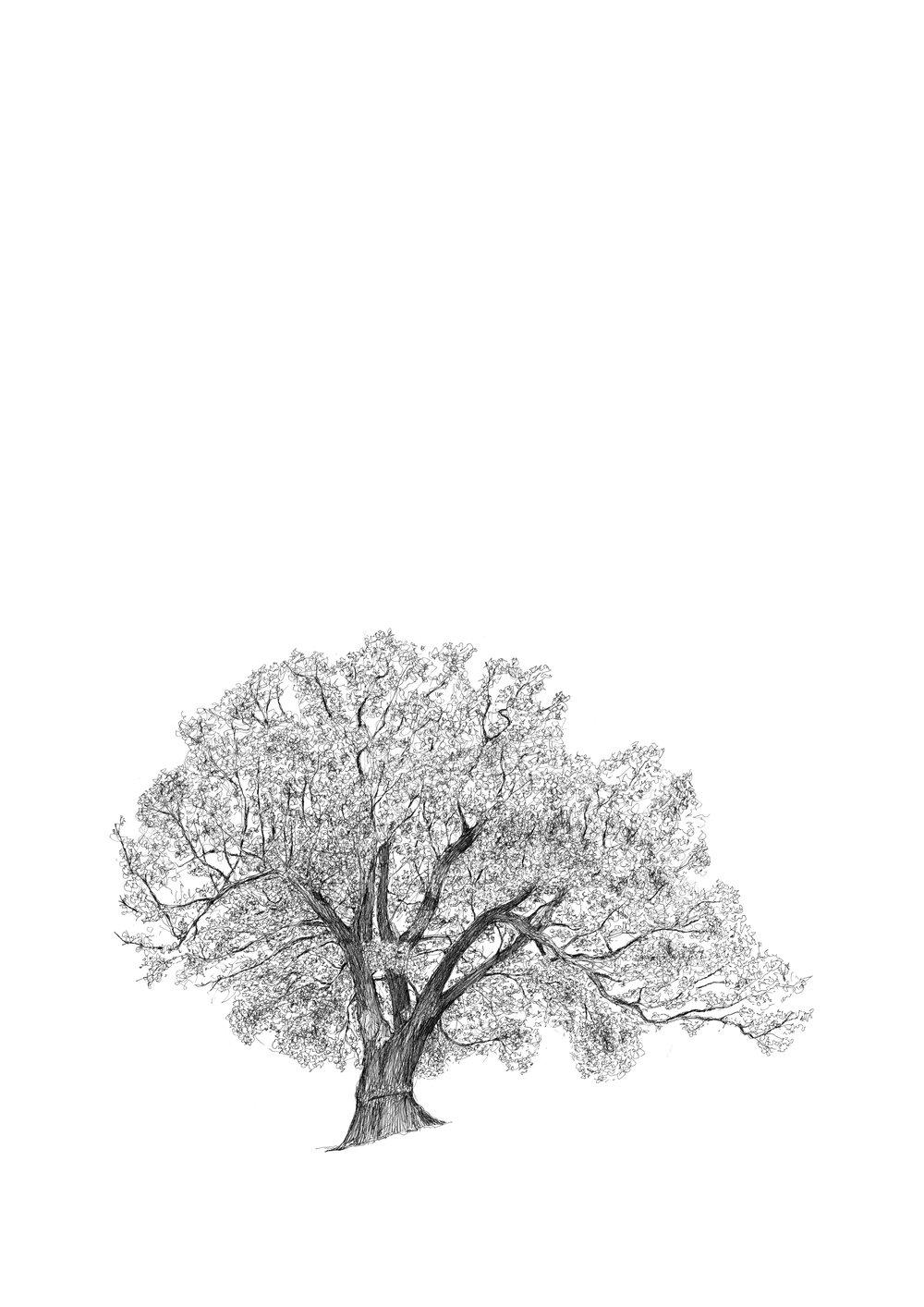 The Brockwell Park Oak
