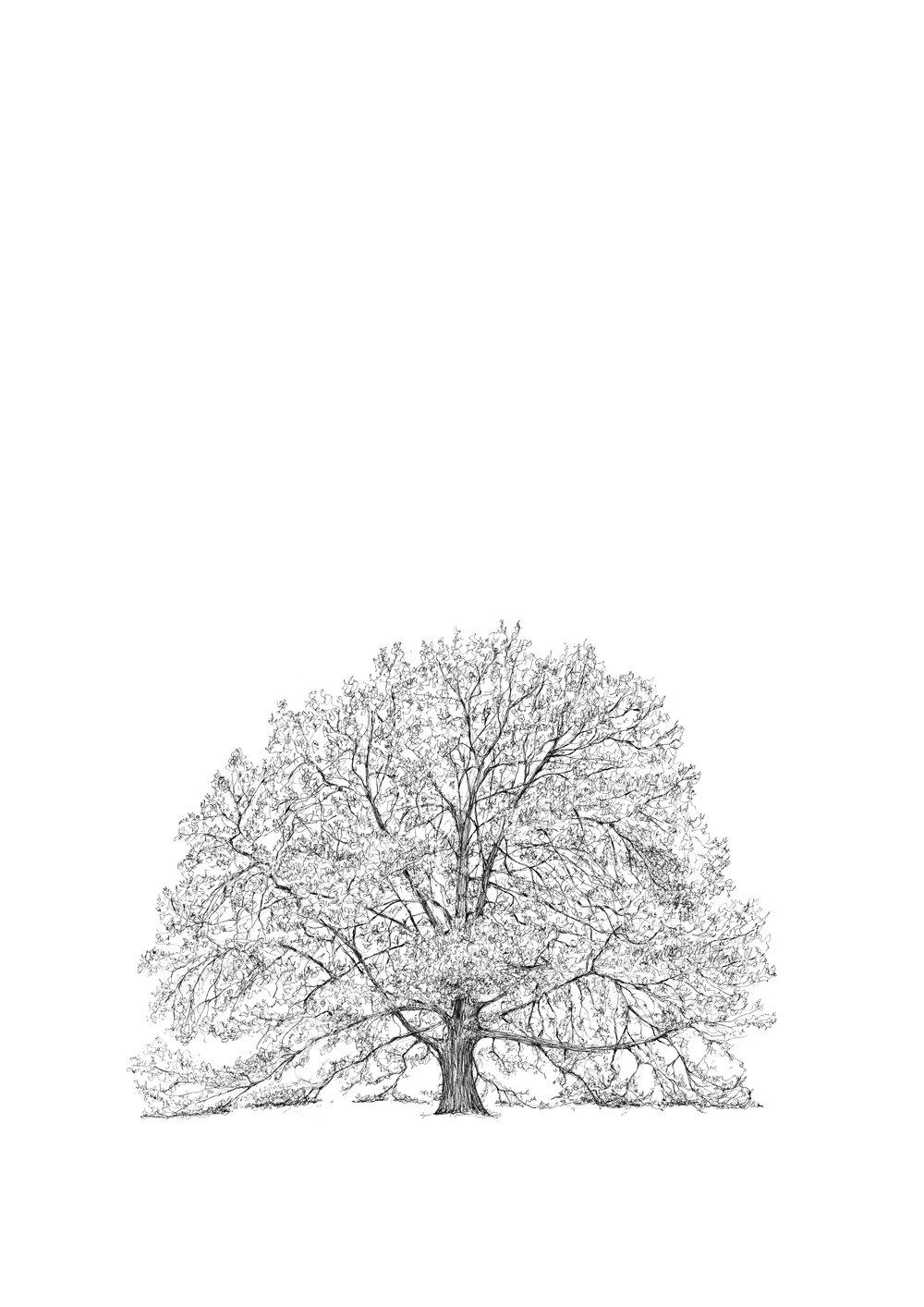 Dulwich Turkey Oak - Luke Adam Hawker.jpg