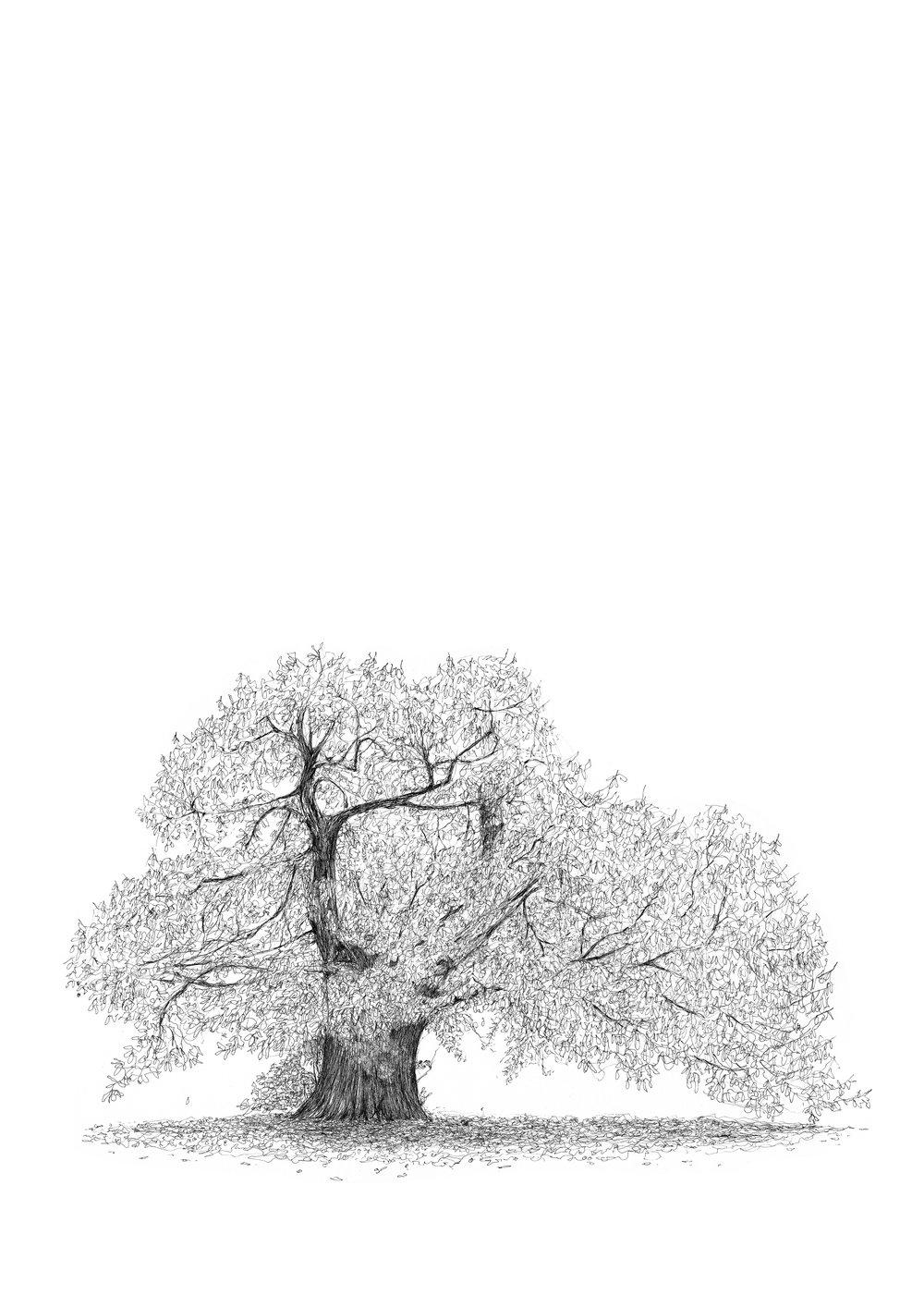 Greenwich Park Sweet Chestnut - Luke Adam Hawker.jpg