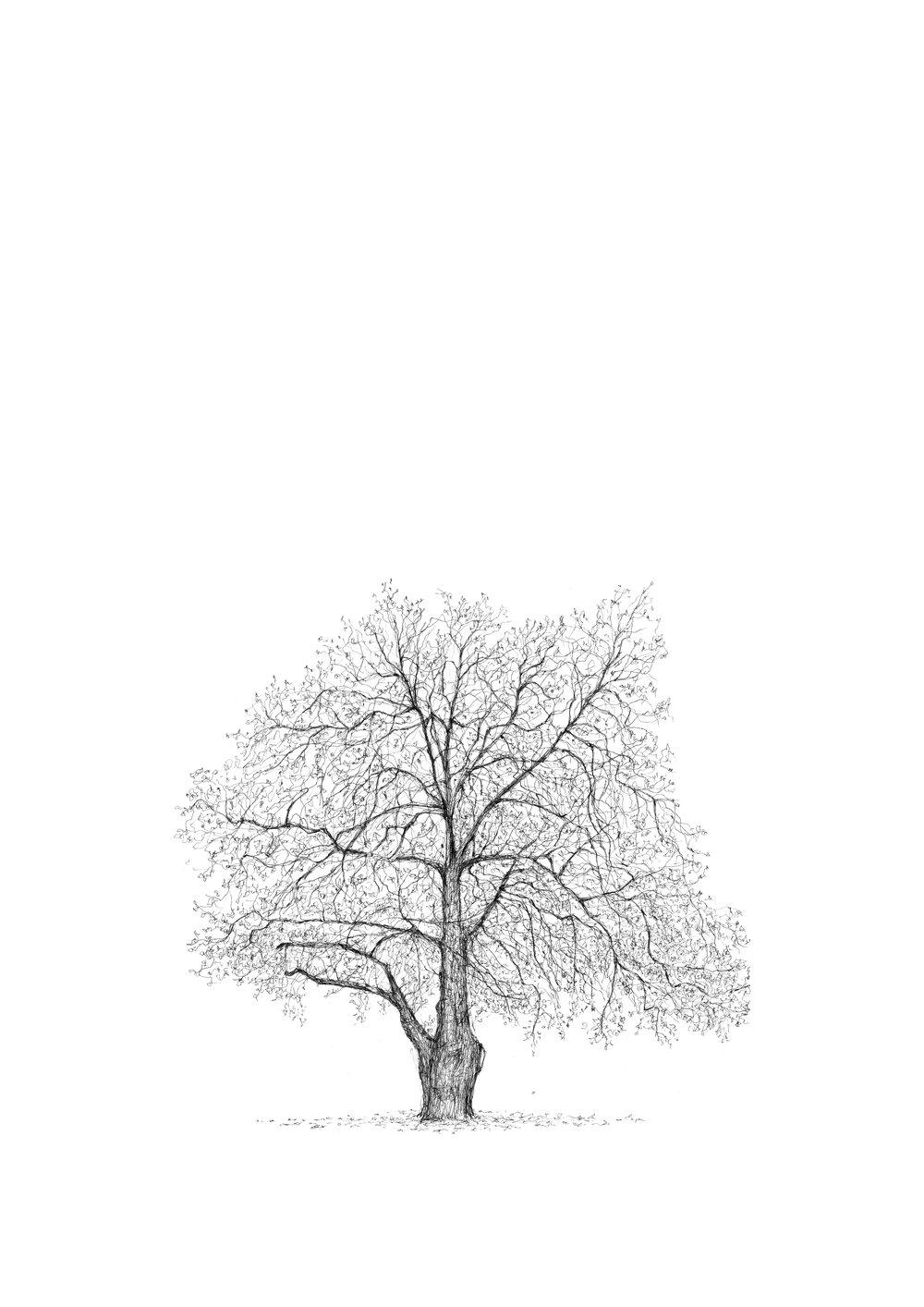 Berkeley Square plane - the Great Trees of London - Luke Adam Hawker