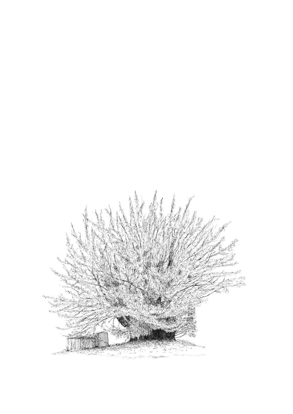 The Totteridge Yew Tree - Luke Adam Hawker
