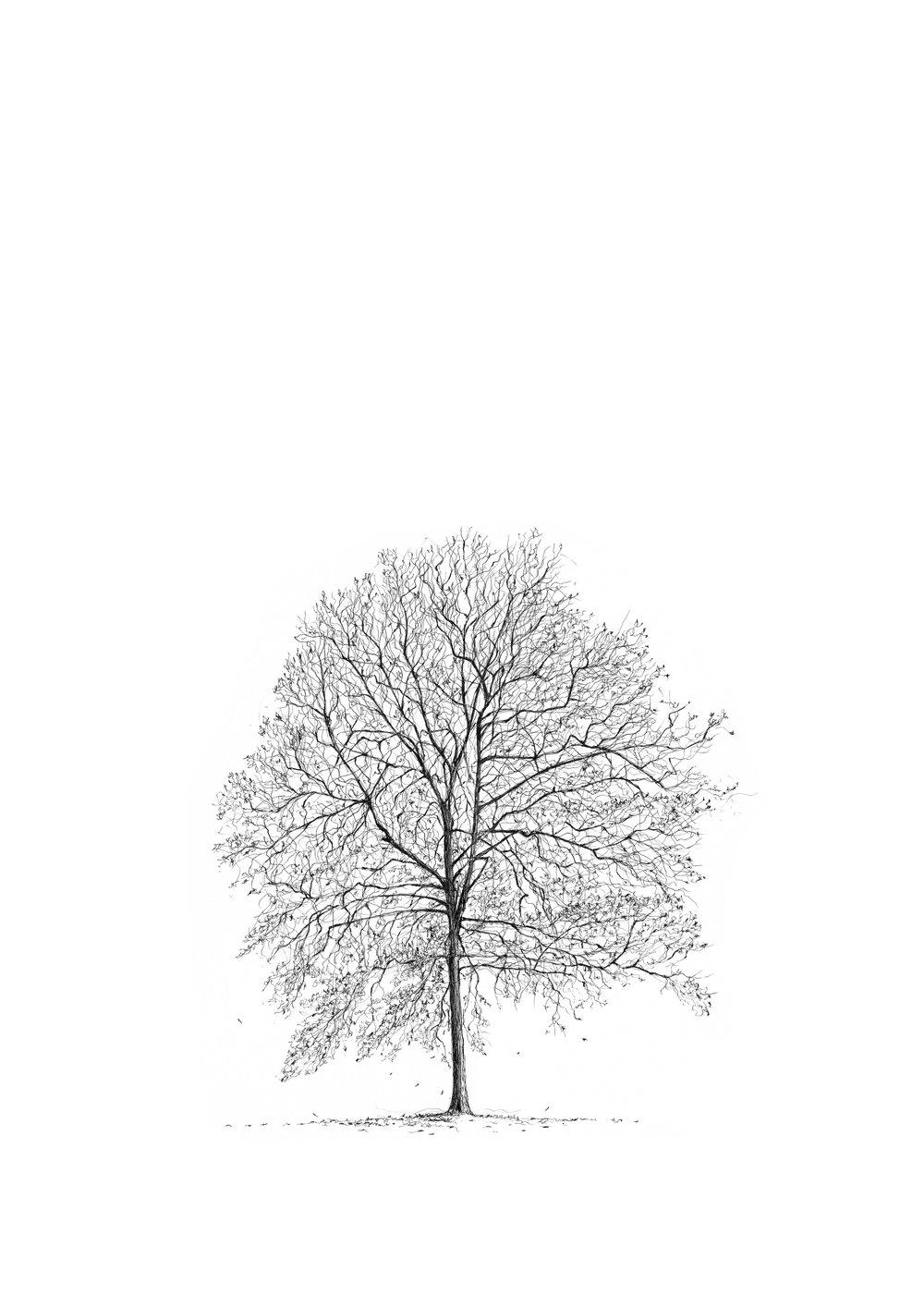 GREENWICH PARK SHAGBARK HICKORY - Luke Adam Hawker