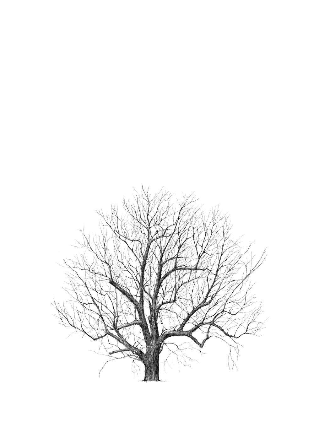 Marble Hill Black Walnut- Luke Adam Hawker.jpg