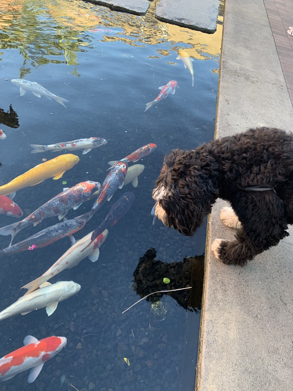 Sally loves the Koi fish at Fashion Island