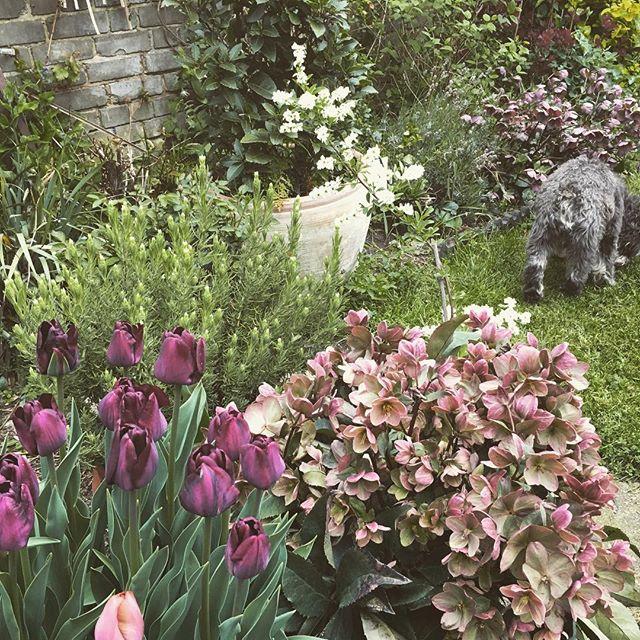 Pots coming into bloom #tulips #hellebores #schnauzers #lavender #garden #potgardening