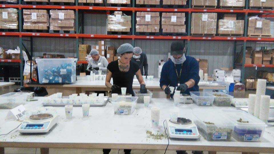 Two Northwest Cannabis employees weighing and packaging some cannabis