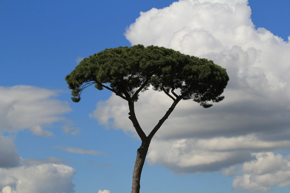 Tree on the Roman skyline, Italy