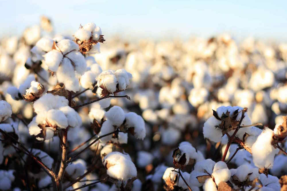 Cotton: The Good, the Bad, and the Ugly
