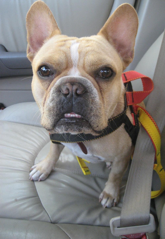 Dr. K's Vincent in his seat belt