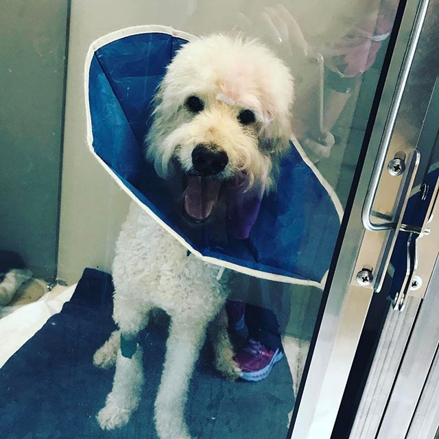"Kosar is drunk but happy in his ""recovery cone"" (not the #coneofshame)! #labradoodlesofinstagram #vetlife #vettech #veterinarian"