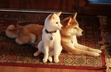 Muses .  Our shibas, Momo (white) and Toro (red)