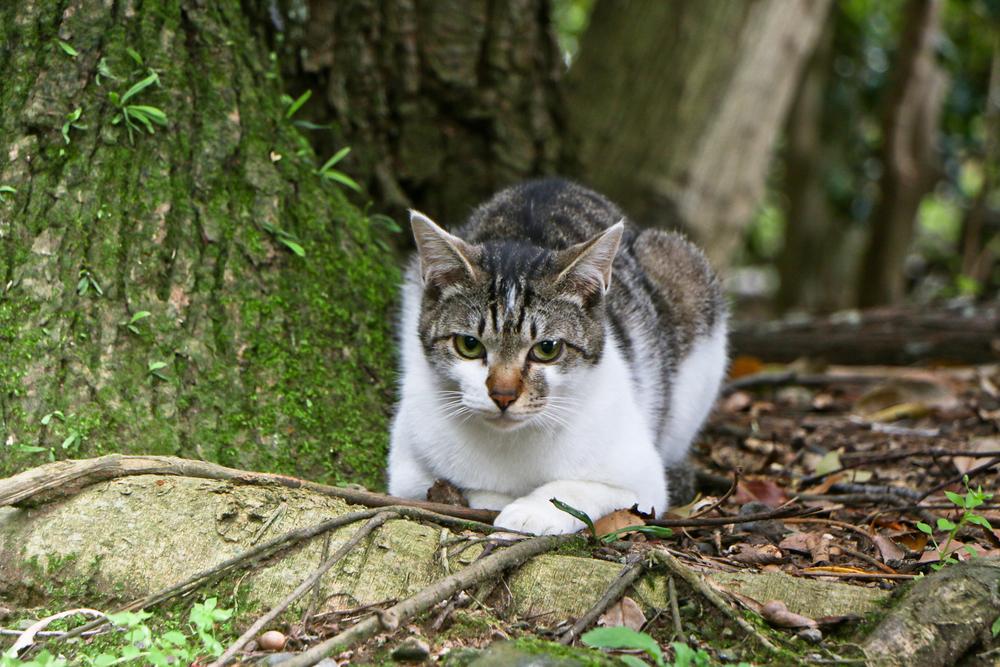 Feral Cat, Mishima Taisha Shrine, Izu Peninsula