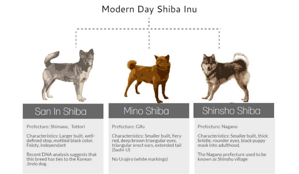 Modern Shiba. After WWII reduced the Shiba to near-extinction, the survivors of the three regional sub-breeds were combined to give us the Shiba we know today.  Image from http://myfirstshiba.com/shiba-inu-history/.