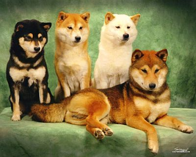 Four Flavors of Shiba.  Black & Tan, Red, Cream, and Sesame (L to R).  Photo credit  here .