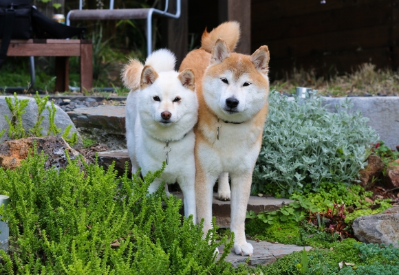 Shibas in the Garden. Momo (L) and Toro (R).