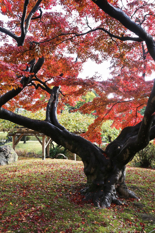 Hama-rikyu Gardens.  Momiji.