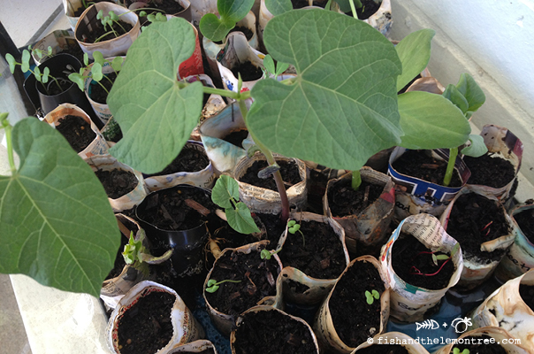 Raising Seedlings from Paper Pots - Amie Mason copyright 2013