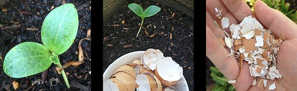 Zucchini seedling, crushing egg shells to stop unwanted pests. Amie Mason copyright 2013