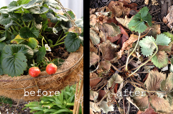 Strawberries previous summer, and this summer.... Amie Mason copyright 2013