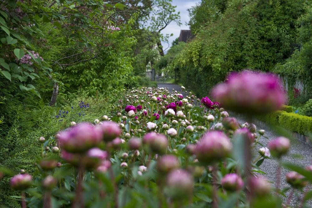Garten-Pfingstrosen.jpg