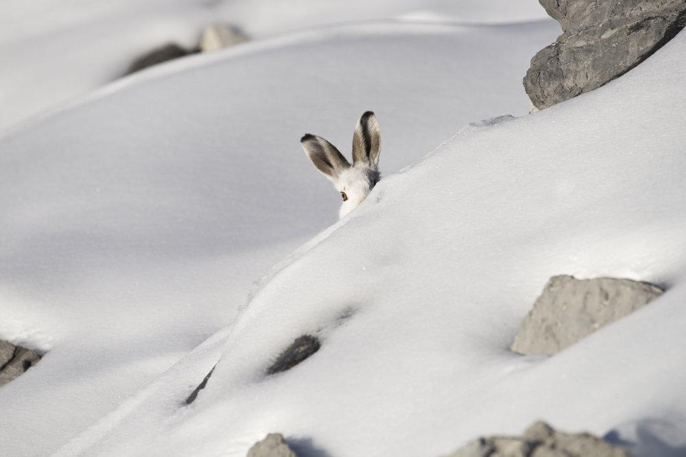 Schneehase_Castelli.jpg