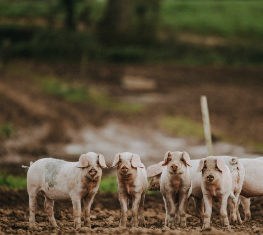 PIPERS FARM pigs Matt Austin.jpg