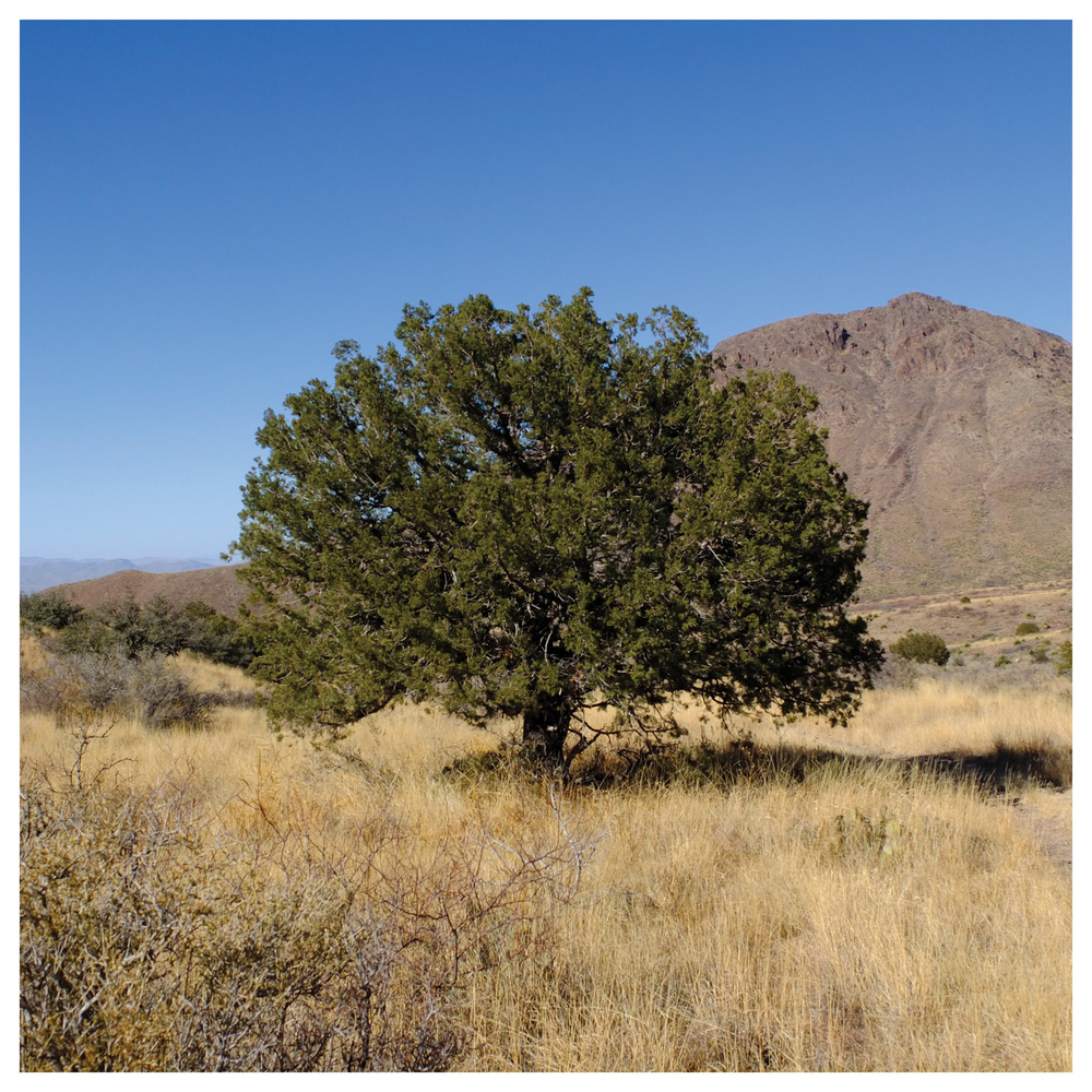 One_Tree_LasCruces.jpg