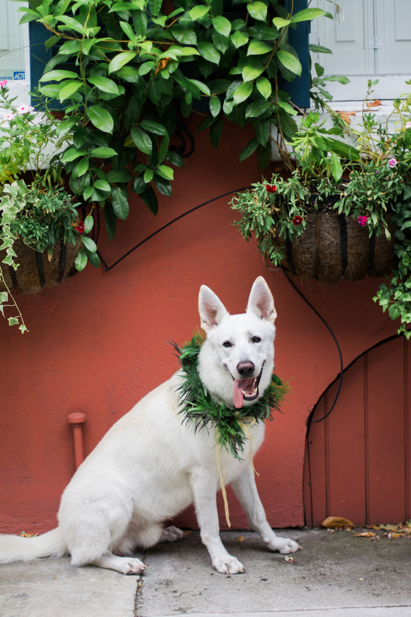 Knox, the White German Shepherd