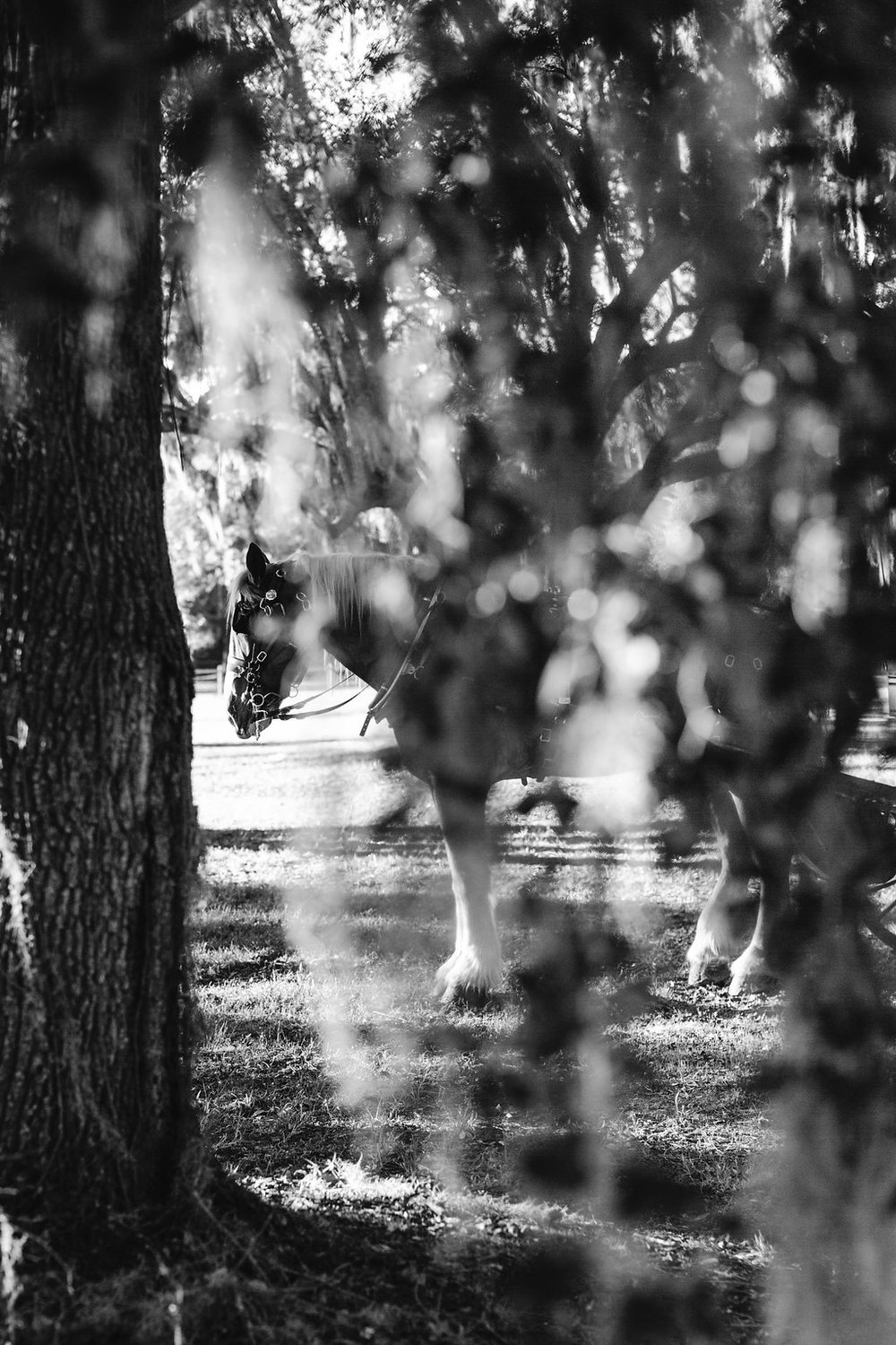 Horse at Sugah Cain Plantation  //  Charleston wedding photos by Carolina Photosmith  Bride and her maids at Sugah Cain Plantation in front of white horse and Carriage  //  on A Lowocountry Wedding Magazine & Blog