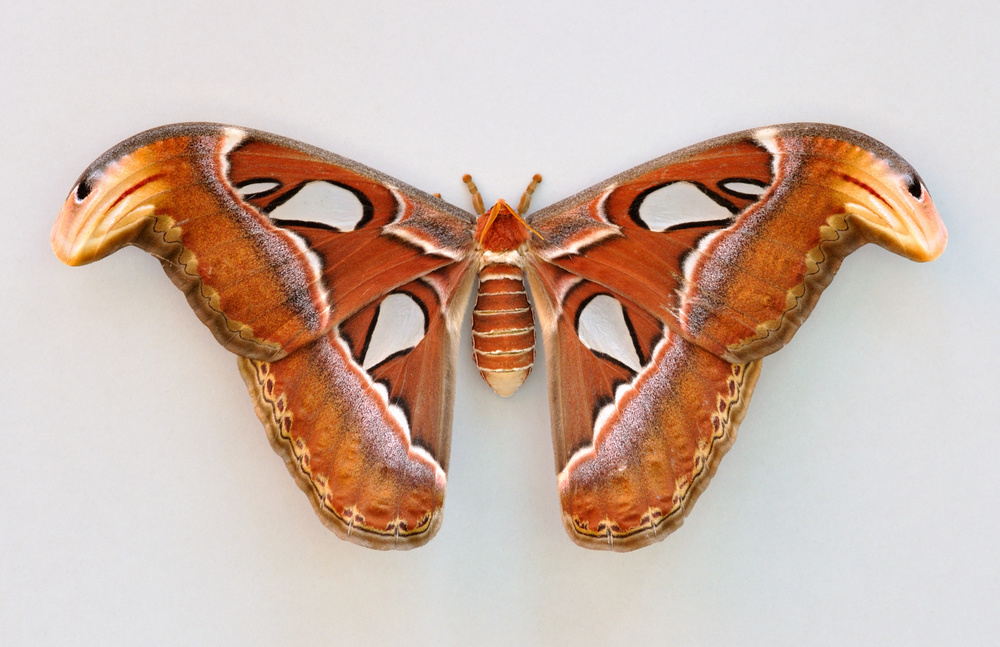 Attacus_atlas_qtl1.jpg