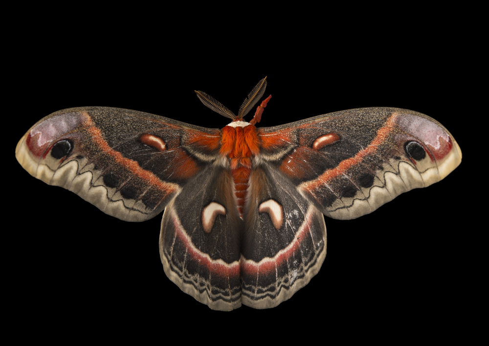 cecropia-moth-minnesota.jpg