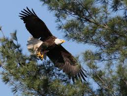 Bald Eagle (eBird)