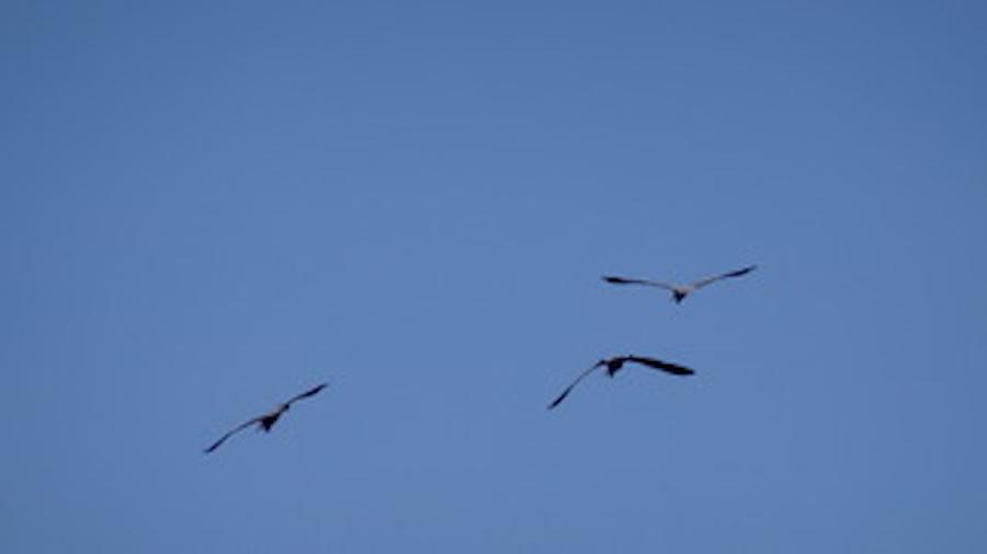 Herons Flock