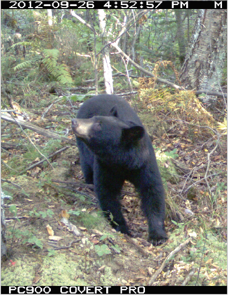 Black bear caught by a camera-trap at Big Bay State Park; Photo by Erik Olson, Northland College