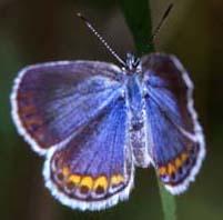 Karner blue butterfly (Lycaeides melissa samueli ) photo by John and Karen Hollingsworth, USFWS