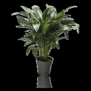 Plants, Da Hing