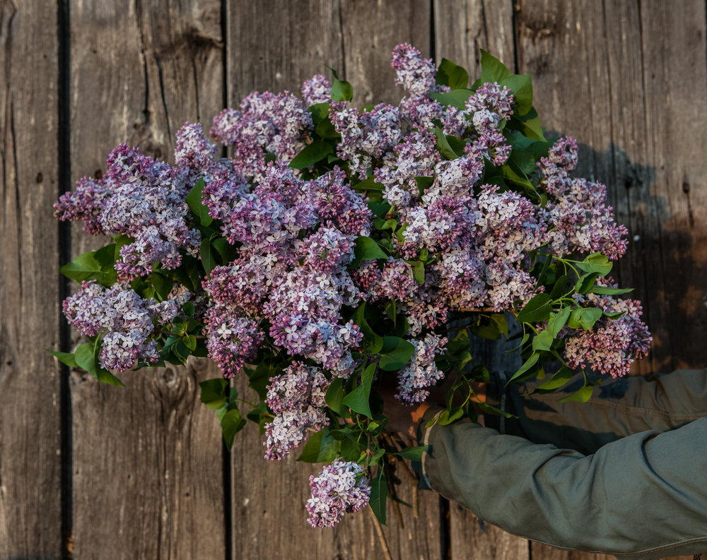 lilac Floramama