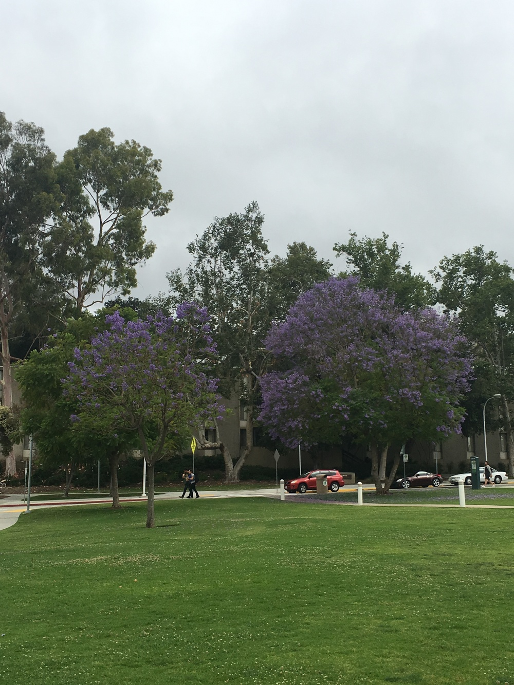 Jacarandas in bloom all around campus!